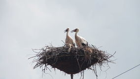 Storks are Sitting in a Nest on a Pillar. Several storks sitting in a nest on a pillar high voltage power lines. Stork and his chick are high above the earth stock video