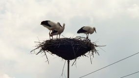 Storks are sitting in a nest on a pillar. Several storks sitting in a nest on a pillar high voltage power lines. Stork and his chick are high above the earth in stock footage