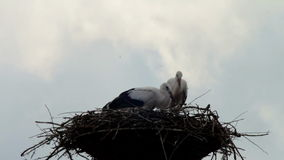 Storks are sitting in a nest on a pillar. Several storks sitting in a nest on a pillar high voltage power lines. Stork and his chick are high above the earth in stock video