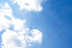 12 storks in the sky. Birds storks flying on background blue sky Stock Images