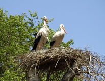 Ukraine. Storks Royalty Free Stock Image