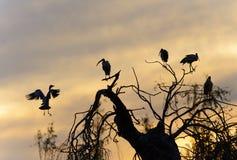 Storks at Sunset Stock Image