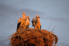 Storks on sunset Stock Images