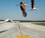 Storks taking off from an airport Stock Photography