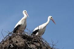 Storks in their nest Royalty Free Stock Photography