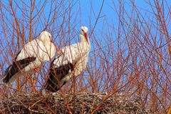 Storks on their nest Royalty Free Stock Image