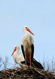 Storks on their nest. Storks sitting on their nest against a blue sky Stock Photos