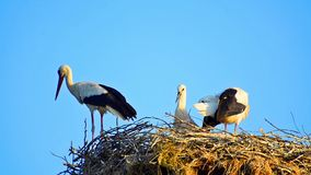 Storks in their nest in spring. Bill clattering white storks with offspring on nest. The white stork (ciconia ciconia) is almost silent except for the noisy stock video footage