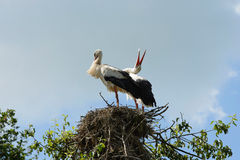 Storks on their nest Royalty Free Stock Images