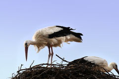 Storks in their nest Stock Photography