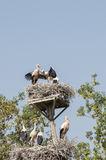 Storks in their nests Stock Photo