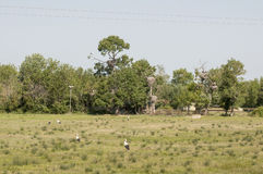 Storks in their territory Royalty Free Stock Photo