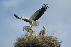Storks Royalty Free Stock Photo
