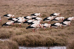 Storks in the thurm cap of St. Peter-Ording Royalty Free Stock Photography