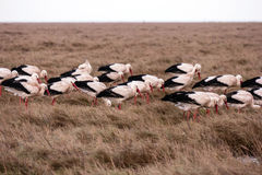 Storks in the thurm cap of St. Peter-Ording Stock Images