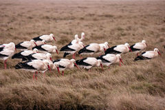 Storks in the thurm cap of St. Peter-Ording Royalty Free Stock Image