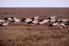 Storks in the thurm cap of St. Peter-Ording Royalty Free Stock Photo