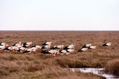 Storks in the thurm cap of St. Peter-Ording Stock Image