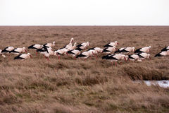Storks in the thurm cap of St. Peter-Ording Royalty Free Stock Photos