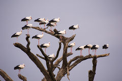 Storks on tree Royalty Free Stock Images