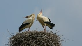 Storks. Two storks stork in the nest stock video footage