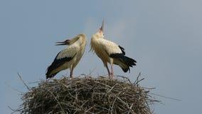 Storks stock video footage