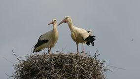 Storks. Two storks stork in the nest stock footage