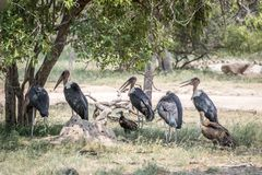 Storks and Vultures standing under a tree royalty free stock image