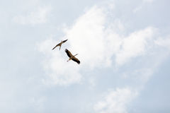 Storks in the wild habitat Royalty Free Stock Photography