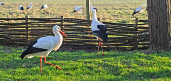 Storks in winter Royalty Free Stock Photo
