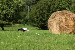 A stork and a haystack. Village. Daylight. Summer photography. stock image
