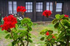 Storksbills kwiaty Zdjęcie Stock