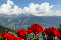 Storksbills in South Tyrol, Italy Royalty Free Stock Image