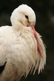 storkwhite Arkivfoto