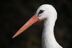 storkwhite Fotografering för Bildbyråer