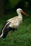 storkwhite Royaltyfri Foto