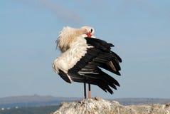 storkwhite Arkivbild