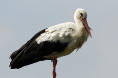 storkwhite Arkivbilder
