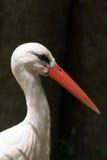 storkwhite Arkivfoton