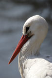 storkwhite Royaltyfria Foton
