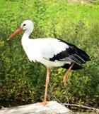 storkwhite Royaltyfri Fotografi