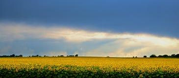 Storm över ett fält av solrosor. Royaltyfri Bild