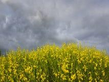 Storm över Forsythia Royaltyfria Bilder