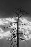 Before the storm. Crows on a dead tree Royalty Free Stock Photography