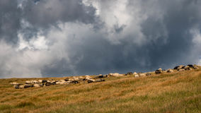 The storm is approaching the sheep pasture Stock Photo