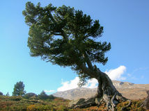Storm-battered tree in the Swiss Alps Stock Photo