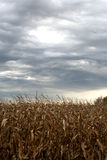 Storm Clouds. Over Corn Field Royalty Free Stock Image