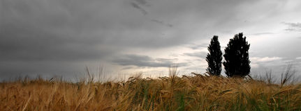 Storm clouds gathering over a wheat field. Clouds gathering, storm is coming. Spring or early summer landscape stock images