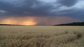 Storm clouds and lightning in the sunset sky over a field of wheat. Evening landscape