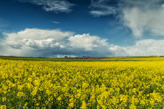 Storm clouds over a canola field Stock Photography